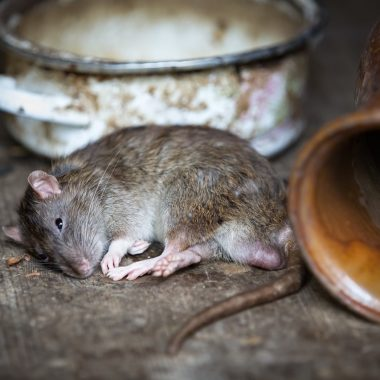 Rodent Control in Singapore