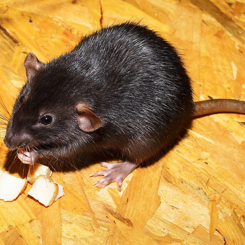 Rodent Pest Control in Singapore