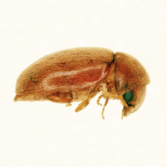 Cigarette Beetle - Website