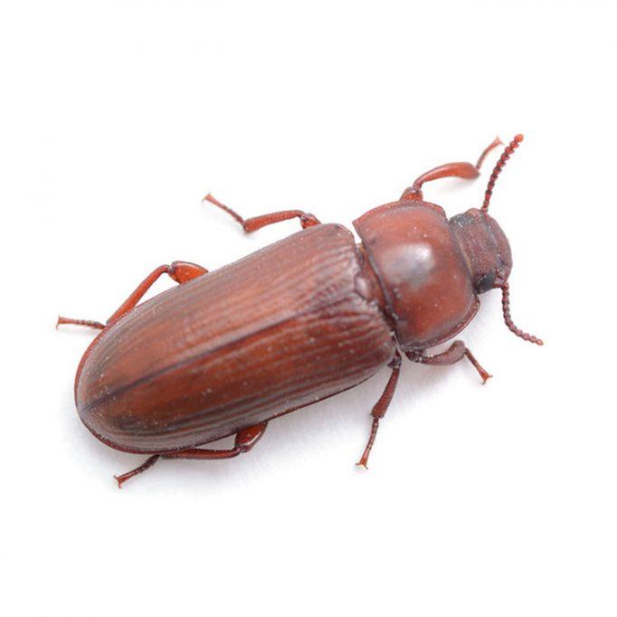 Flour Beetle - Website
