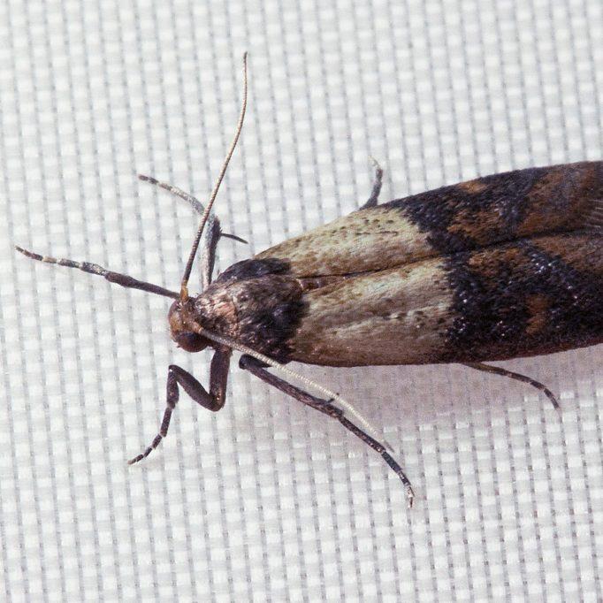 Indian Meal Moth - Website