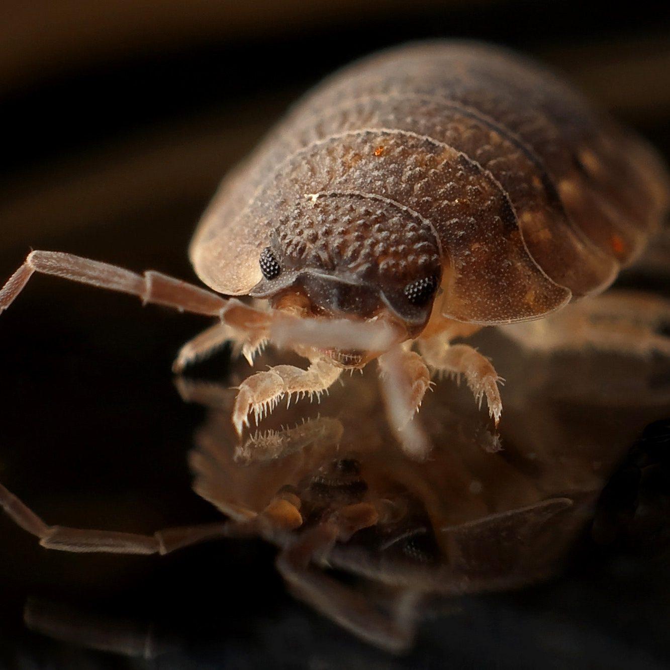 bed-bug-blood-sucker-bug-35804